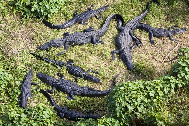 alligators 622 x 415